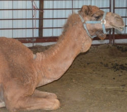 One of our camels